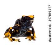 Small photo of Alanis dyeing poison dart frog, Dendrobates tinctorius, isolated on white background