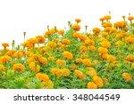 marigolds garden on white... | Shutterstock . vector #348044549