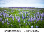 Fantastic Lupine Nature During...