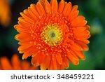 Orange Gerbera In Park...