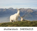 Wild Goat At Mountain