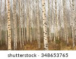 Birch Trees In Finland