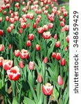 the tulips | Shutterstock . vector #348659429
