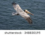 Californian Brown Pelican