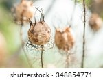 Small photo of Love-in-a-Mist Seed Pod
