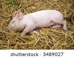 Cute Piglet Sleeping