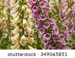 Pink And Yellow Foxglove Flowers