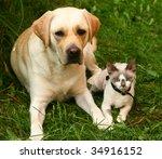 Stock photo cat and labrador retriever 34916152