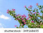 Beautiful Pink Bougainvillea...