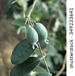 Small photo of Feijoa; sellowiana; Guave; Acca