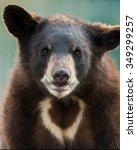 black bear cub  ursus... | Shutterstock . vector #349299257