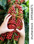 Small photo of Close up of red berries coffee beans on agriculturist hand