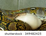 Reticulated Python Eating