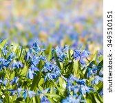 Small photo of Squill blossoms in close-up with blurring background