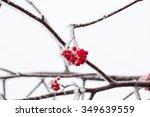 beautiful red berries snow...   Shutterstock . vector #349639559