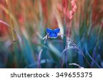Little Blue Butterfly In The...