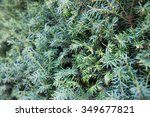 branches of juniper  the... | Shutterstock . vector #349677821