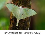 Indian Moon Moth Or Indian Lun...