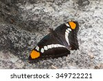 Small photo of Arizona Sister, Adelpha eulalia