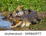 Australian Saltwater Crocodile
