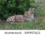 Serval Cat With Cub In Masai...