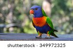 Rainbow Lorikeet In Australia