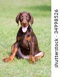 Brown Doberman Puppy