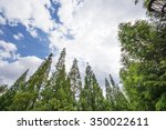 cedar  trees with blue sky | Shutterstock . vector #350022611
