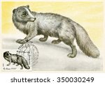 Small photo of USSR - circa 1980: postage stamp,postal cancellation and the card issued in the Soviet Union circa 1980, is devoted to valuable fur-bearing animal Average arctic fox, polar fox (lat. Alopex lagopus)
