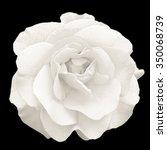 Tender White Rose Flower Macro...