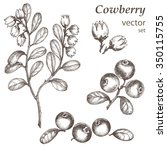 cowberry.  hand drawn ink... | Shutterstock .eps vector #350115755