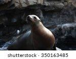 Sea Lion Preparing To Be Fed