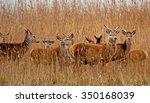 Red Deer In A Field In Winter
