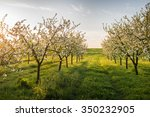 Blossoming Apple Garden In...