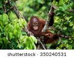 A Baby Orangutan In The Wild....