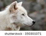 Profile Of Arctic Wolf