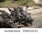 Uprooted Melaleuca Tree At The...