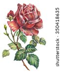 Rose Color Pencil  Illustration
