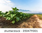 Small photo of Tobacco farm in morning with road.