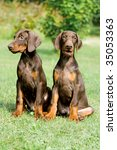 Two Young Brown Doberman Puppy...