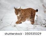 Close Up Eurasian Lynx Lynx...