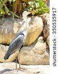 Profile Of Great Blue Heron...