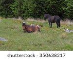 dartmoor ponies  equus ferus... | Shutterstock . vector #350638217