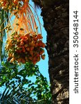 ripe bunches of date palm  the... | Shutterstock . vector #350648144