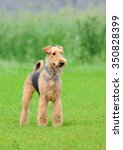 Small photo of Airedale Terrier outdoors portrait over blurry background