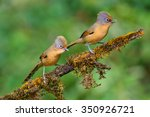 Small photo of Beautiful couple of Spectacled Barwing bird (Actinodura ramsayi) perching on a branch