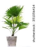 Palm Tree  Livistona...