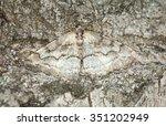 Geometer Moth Camouflaged On...