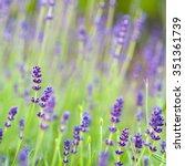 Summer Purple Fragnant Lavende...