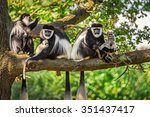 A Troop Of Mantled Guereza...